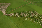 VIRAL: A still from photographer Tim Whittaker's video of Hawke's Bay sheep, receiving international attention online. PHOTO/ SUPPLIED