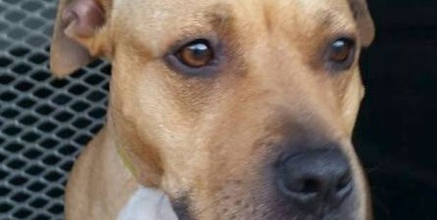 Rosie the staffie ran away scared after the quakes. Photo: Christchurch City Council, Facebook