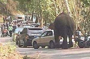Unlucky-in-love elephant's rampage