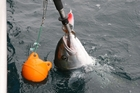 A tool for grasping the lips will hold a fish like this kingfish while the hook is removed. Picture / Geoff Thomas