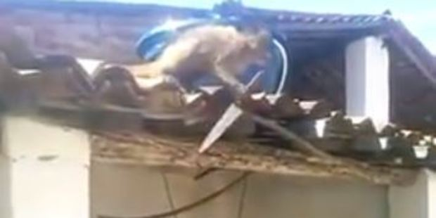 Video footage shows the monkey on a roof with a knife, indiscriminately stabbing at shingles. Photo / YouTube, Jozivan Antero