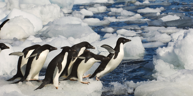 About 150,000 Adelie penguins East Antarctica died after a massive iceberg grounded near their colony. Photo / Getty Images