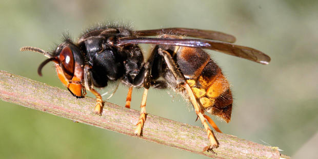A man was flown to hospital after being stung by a wasp. Photo / Getty Images