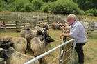 Brian Hales looks over a pen of Gotland sheep.