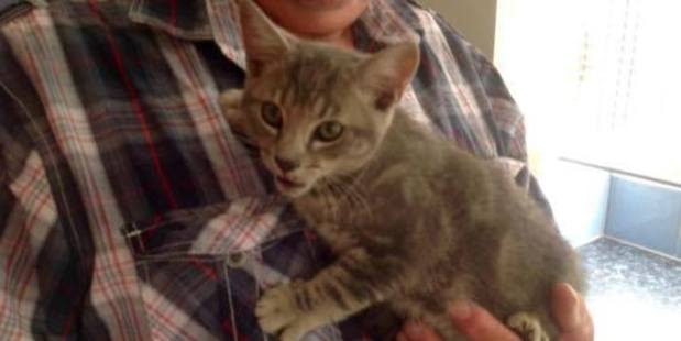 The kitten which survived in a car engine for four hours. Photo/Supplied