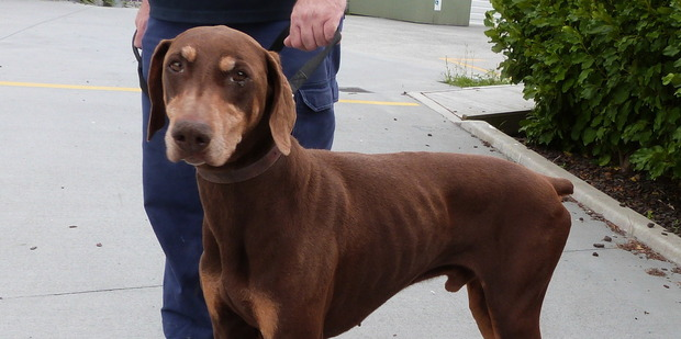 Max is an eight year old doberman looking for a home.