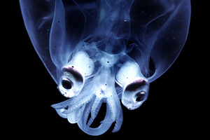 Deep sea creatures, like this glass squid, are the topic of an upcoming talk in Paihia. PHOTO / Peter Batson
