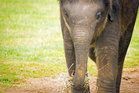 Baby Indian elephant. iStock image - not the one elephant gifted to NZ