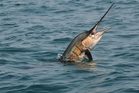 While trying to get the fish onto the boat the man was impaled by the marlin's spike. Photo / iStock