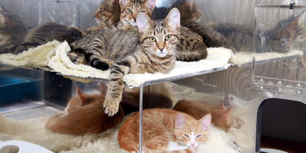Zammo, Zena and Richie are three of the kittens available at Whangarei SPCA.