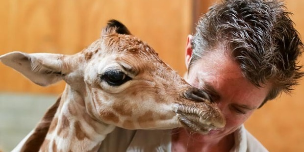 The male calf with one of the Auckland Zoo keepers. Photo / Supplied