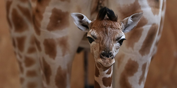 Loading Rare twin giraffe calves were born on New Year's Eve but one later had to be put down. Photo / Supplied