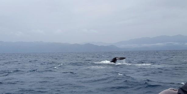 Tourists on the first Whale Watch Kaikoura tour since 7.8 earthquake get to see a sperm whale. Photo/Whale Watch Kaikoura