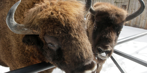 Bison at a reserve in the Bialowieza forest, in Bialowieza, eastern Poland. Photo / AP file