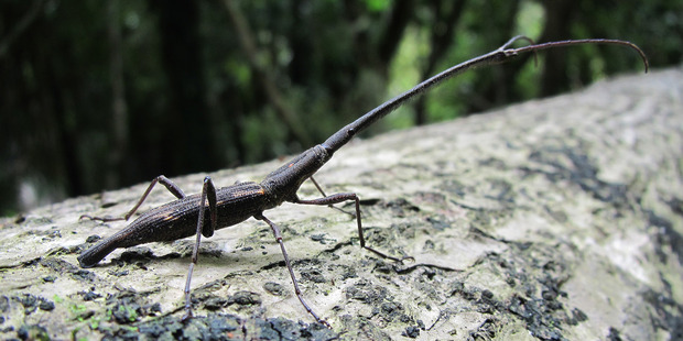 The head of a male New Zealand giraffe weevil can be up to half the length of its body. Photo/Supplied