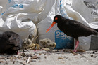 Meet Mount Maunganui's newest family - two oystercatchers greet their two newly-hatched chicks from their nest on Mount Maunganui's main beach. Photo/George Novak