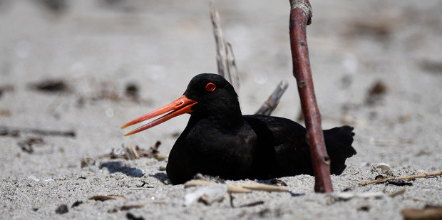 Oystercatchers Harry and Sophie are Mount Maunganui's newest parents. Photo/File