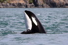 A photo provided by the Center for Whale Research, an orca whale designated J2 pokes her head upward while swimming in the Salish Sea near the San Juan Islands. Photo / AP