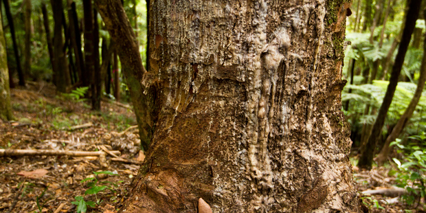 This kauri in the Huia Forest is one of nearly 20 per cent of kauri in the Waitakere Ranges now suffering from dieback disease. Photo / File