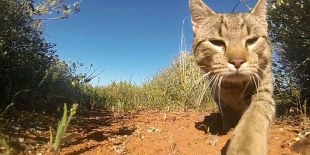 New research has found feral cats cover more than 99.8 per cent of Australia's land area, including almost 80 per cent of the area of its islands. Photo / Hugh McGregor.