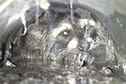 A raccoon was rescued from a drainpipe after a 24 hour ordeal, only to collapse and die hours after reaching freedom