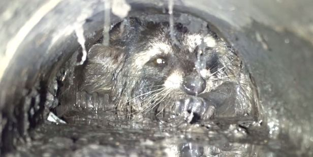 Loading A raccoon was believed to be trapped in a drain pipe in Santa Cruz, California, for over 24 hours before finally being rescued by four teams of city officials. Photo / Wildlife Emergency Sercices