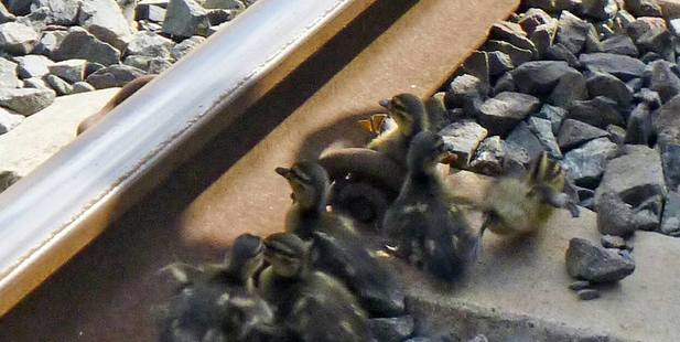 The six ducklings were too small to get over the rails by themselves. Photo / supplied.