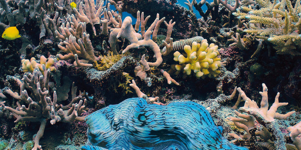 A giant clam on the Great Barrier Reef. Photo / Spirit of Freedom