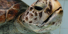 The turtle had nearly 1000 coins in its stomach. Photo / AP