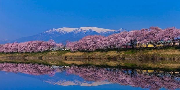Cherry blossoms in the Miyagi prefecture Photo / Getty Images