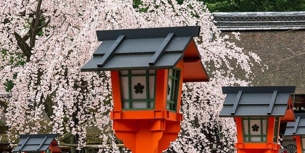 Cherry blossoms at the Hirano Shrine in Kyoto. Photo / Getty Images
