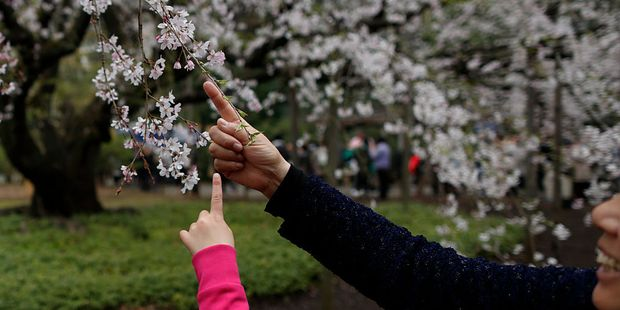 The flowers are deeply symbolic: their short-lived existence taps into a long-held appreciation of the beauty of the fleeting nature of life. Photo / Getty Images