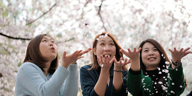 'The Japanese have long been celebrated as global leaders in the art of cherry blossom appreciation'. Photo / Getty Images