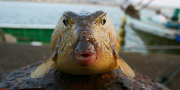 In Japan, blowfish must be prepared by a qualified chef, but the emperor is banned from eating it. Photo / Getty Images