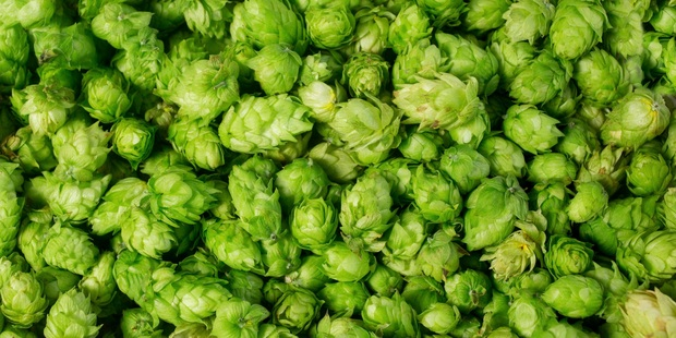 Freshly picked hops have a bitter taste and are used for flavouring beer.  Photo/Supplied