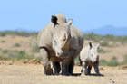 Evidence shows rhinoceros can manipulate the sex of their offspring to correct gender imbalance in populations. Photo / File