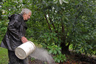 GROWING GREEN: Chris Coney has been using organic farming methods for decades at his Te Puna orchard. Photo/George Novak