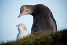 A pair of yellow-eyed penguins. Photo / Greg Bowker