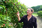 The plants at Wharekai Boysenberries are available to anyone who wants them, co-manager Ashley Fox says. PHOTO/ FILE