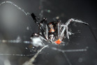 A redback spider has been found amongst pipes at the back of a Bounty Place business.