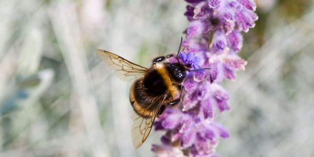 """Bumblebees have the ability to use """"smelly footprints"""" to make the distinction between their own scent and that of a stranger. Photo / 123RF"""