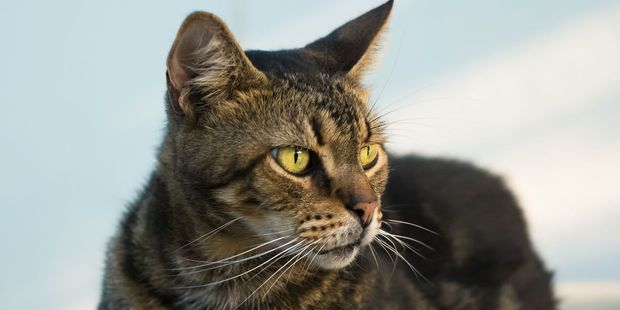 Firefighters were called to cut a cat out of a car dashboard in Auckland. Photo / 123RF