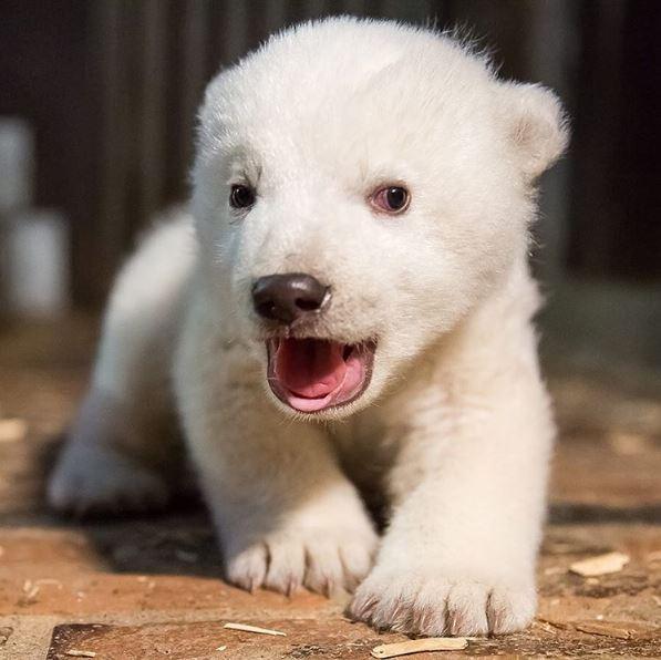The cub was born on November 3, 2016. Photo / Tierpark Berlin