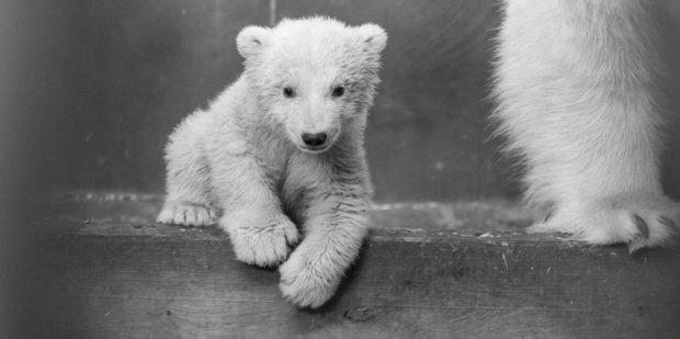 Tierpark Berlin zoo's polar bear cub Fritz has died after being struck down by a mystery illness. Photo / Zoo Tierpark Berlin