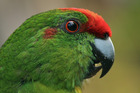 The long-term survival of the Norfolk Island Green Parrot is getting a helping hand from Kiwi conservationists. Photo / Supplied.