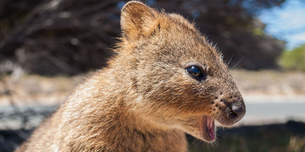 37-year-old Bevan Hames threw a quokka into the ocean off Rottnest Island on Friday night. Photo / Supplied