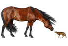 An artist rendering provided by the Florida Museum of Natural History shows a comparison of a Sifrhippus sandrae, right, with a modern Morgan horse. Photo / AP
