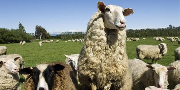 A Kingsmeade sheep, one of the key players in the sheep milk industry. Photo / kingsmeadecheese.co.nz