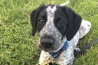 Grizz, the Aviation Security detector dog that was shot dead this morning at Auckland Airport, seen here as a puppy in 2016 Source: https://www.facebook.com/210117702654461/photos/pcb.278063315859