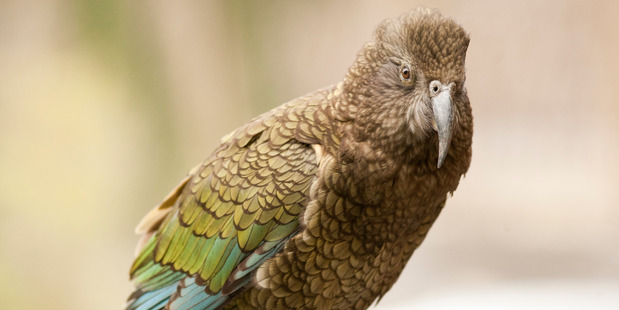 The size of the wild kea population is unknown but is estimated to be between 1000 and 5000 birds. Photo/File
